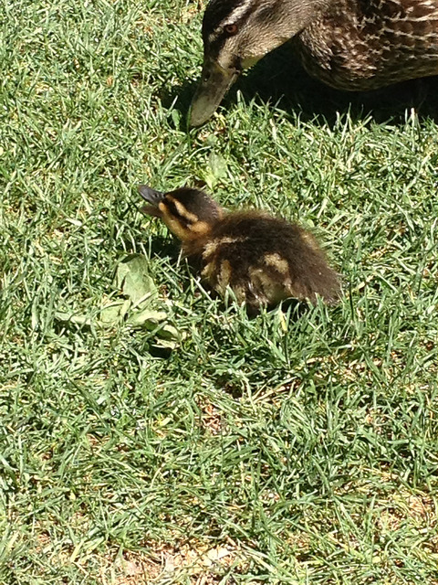 Wee duckling & duck at the botanical gardens