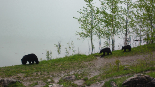 Bear & cubs Medicine Lake