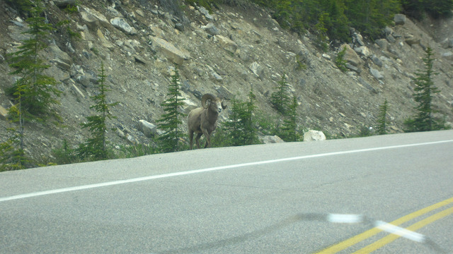 Bighorn sheep headed our way