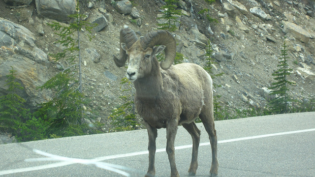 Bighorn sheep showdown