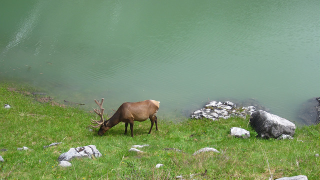 Caribou at Medicine Lake