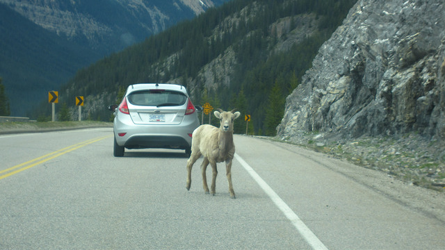 Mountain sheep at Icefields Parkway